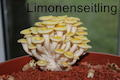Limonenseitling